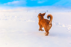 Red dog in the snow Stock Image
