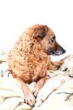 Red dog on a soft yellow blanket Royalty Free Stock Images