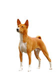 Red dog standing. Stock Images