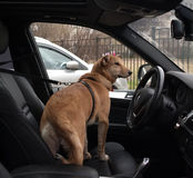 Red dog standing on seat of car Stock Photos