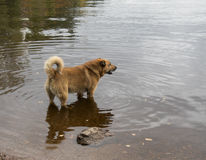 Red dog standing in water Royalty Free Stock Images