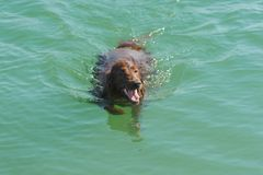 Red dog swims in blue water on lake, outdoors Royalty Free Stock Photos