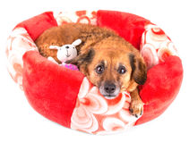 Red dog with toy looking up on white background Stock Photography