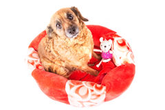 Red dog with toy looking up on white background Royalty Free Stock Photos