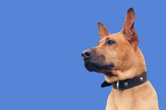 Red dog. Wearing a collar. Isolated on blue background Royalty Free Stock Photography