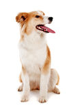 Red dog on white Royalty Free Stock Image