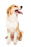 Red dog on white Stock Image