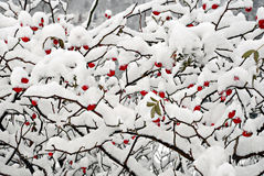 Red dogrose berries in snow Stock Photo