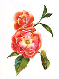 Red dogrose brunch watercolor. Painting of two beautifull flowers with leaves Stock Image