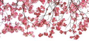 Red Dogwood Banner in Spring. Beautiful red dogwood branches in Spring with small flowers on branches with white background Stock Photo