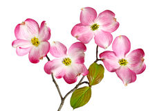 Free Red Dogwood Blossom Royalty Free Stock Photo - 24567215