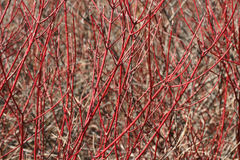 Red Dogwood Branches Background Royalty Free Stock Image
