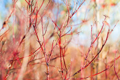 Red dogwood bush Stock Image