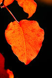Red dogwood leaf in fall. Stock Photo
