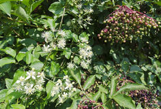 Red dogwood and umbel. Flourishing red dogwood and umbel with unripe elderberries Royalty Free Stock Photography
