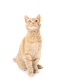 Red domestic cat Stock Photos