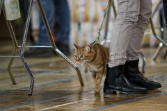 Red domestic cat during an exhibition stock image