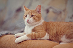 The red domestic cat Stock Images