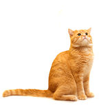 Red domestic cat looking up Royalty Free Stock Photography