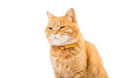 Red domestic cat looking up Royalty Free Stock Image