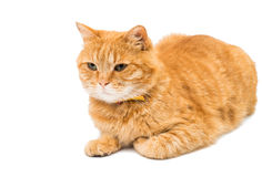 Red domestic cat looking up Royalty Free Stock Photos