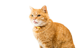 Red domestic cat looking up Royalty Free Stock Photo