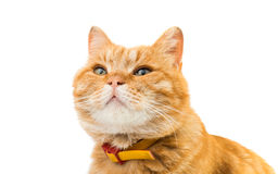 Red domestic cat looking up Stock Photography