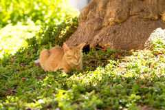 Red domestic cat lying in a meadow Royalty Free Stock Images