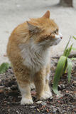 Red domestic cat on walk Royalty Free Stock Photos