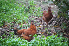 Red Domestic Chickens Royalty Free Stock Photos