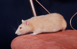 Red domestic rat Stock Photos