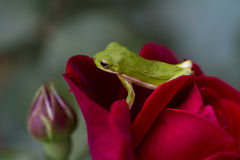 Red Don Juan Rose and Green Tree Frog Stock Photography