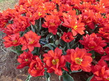 Red Double early tulip Abba. Red tulip. Double early tulip Abba Stock Photos