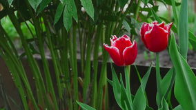 Red double tulips flower under rain stock footage