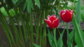 Red double tulips flower under rain stock video