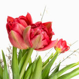 Red double tulips with white broom detail, square crop Royalty Free Stock Photos