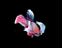 Red doubletail siamese fighting fish, betta fish isolated on bla Stock Photos