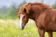 Red draft horse. Beautiful big red draft horse portrait on spring meadow stock image