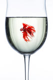 Red Dragon Betta fish. In wine glass stock image
