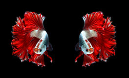 Red dragon couple siamese fighting fish, betta fish isolated on. Black background stock image
