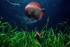 Red dragon discus fish with sea plants. Swimming red dragon discus fish with green seaweed plants underneath royalty free stock photos