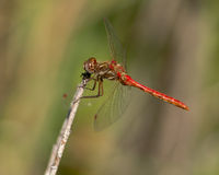 Red Dragon. Fly sunning itself on the end of a twig Stock Photography