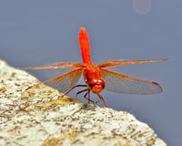 Red Dragon Fly Stock Photo