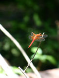 Red Dragon Fly. Close up of a red dragon fly sitting on branch, blurred background stock image