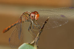 Red dragon fly Royalty Free Stock Photography