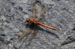 Red Dragon fly Stock Photos