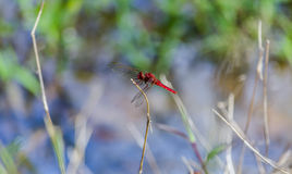 Red dragon fly Royalty Free Stock Photo