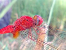 Red dragon fly. Thin wings insect Stock Image