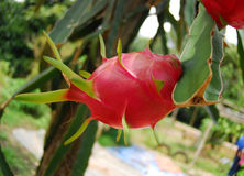 Red dragon fruit in the garden. S Royalty Free Stock Photography