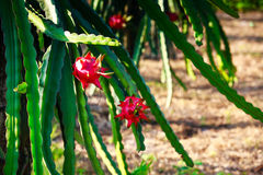 Red dragon fruit tree in the garden. Stock Photo